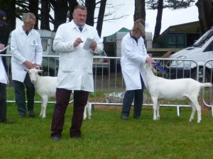 RC British Saanen Goatlings