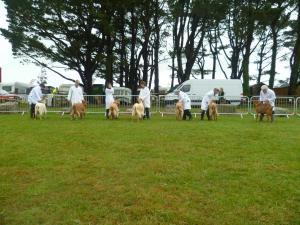 RC Golden Guernsey Line Up